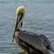 Brown Pelican in Rio Lagartos, Yucatan: