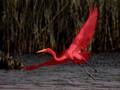 Rare Cardinal Egret