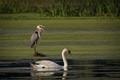 Swan... Get off my lawn!