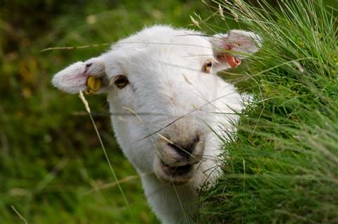 sheep001