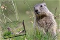 marmot-1