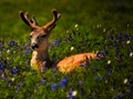Young deer in July lupine
