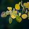 String Of Aspen Leaves