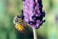 BEE IN MACRO