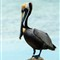 Male Brown Pelican at Key Largo (Pelecanus occidentalis)