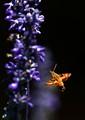 Hummingbird Hawk Moth1