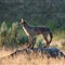 DSC_0262 Coyote canvasprint