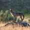DSC_0262 Coyote canvasprint