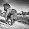 Elefant_086