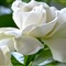 Gardenia # 6