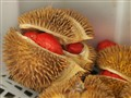 Brunei Red (Durian)