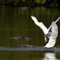 Snowy and Common Egret Fighting for Landing Rights
