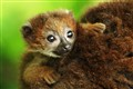 Baby Brown Lemur