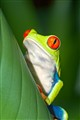 CR Red-eye Tree Frog