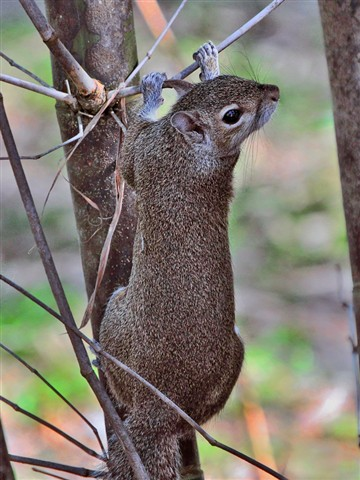 Squirrel in Tree, closeup