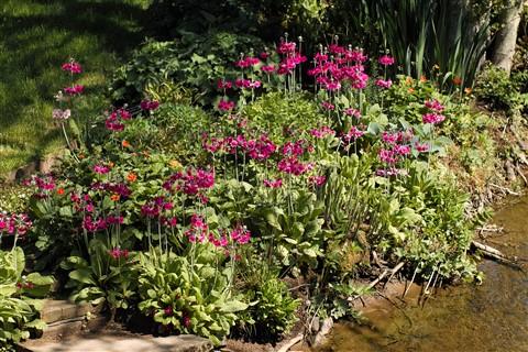 Garden Burnside Primulas.