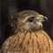 Red-Shouldered Hawk-2
