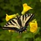 Elwha_SwallowtailMonkeyFlower_1_062710_1000px_reduced