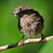 Song Sparrow - July 26, 2014