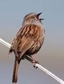 Birdsong - Dunnock