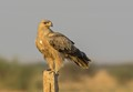 Tawny Eagle on a post