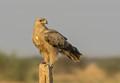 Tawny Eagle on a post