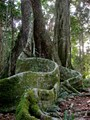Buttress Roots in the Rain Forest