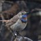 Blåhake - bluethroat (Luscinia svecica)-8
