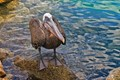 What a wonderful bird is the Pelican!