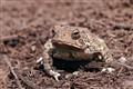 Mulch Toad