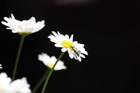 Beetle - Rutpela maculata (Black-and-Yellow Longhorn Beetle) 210623