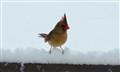 Cardinals 038