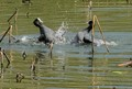 Coot macouimle wrestling