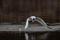 Caspian Tern catches a fish
