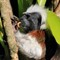 Cotton-top tamarin eating a caterpillar