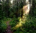 Morning in a wood