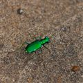 Six Spotted Emerald Tiger Beatle