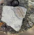Trilobite (Bathyuriscus fimbriatus)