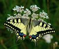 Lastin rep (Papilio machaon) - Swallowtail