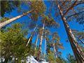 Lowland pines