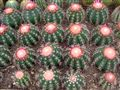 Army of Cacti